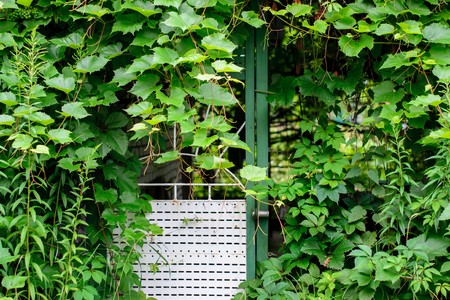 Iron gates, the entrance to house, woven with a vine