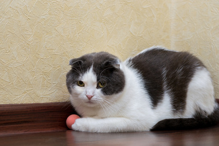 Scottish cat does not want to play with his ball Stock Photo