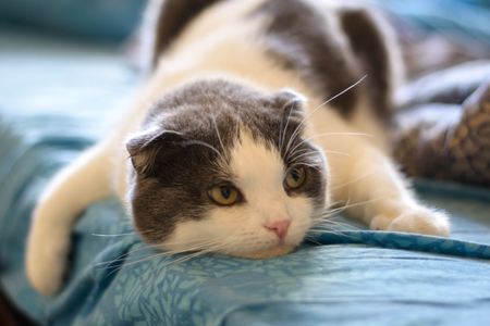 A tired cat lies on the belly of the bed Stock Photo