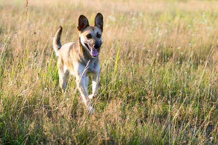 Dog mongrel runs across the field on a sunny day Stock Photo