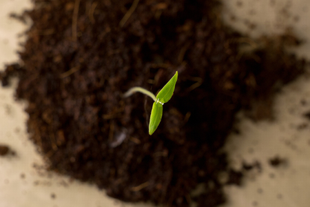 Green sprout on the background of black earth, macro, close-up, the concept of a new life and spring Stock Photo