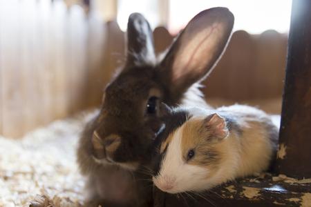 Meerschweinchen und ein Kaninchen liegen nebeneinander in ihrem Haus