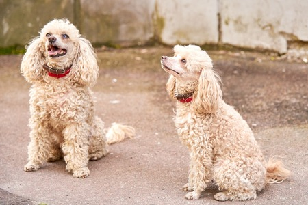 Two cute poodle of a light color with a collars listen command on the city street in the afternoon