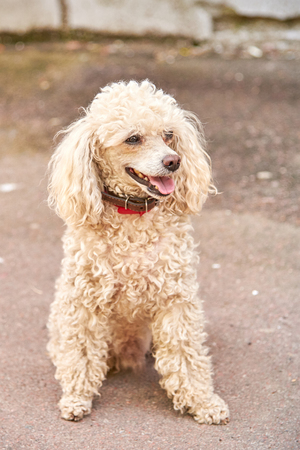 Cute poodle of a light color with a collar on the city street in the afternoon Reklamní fotografie