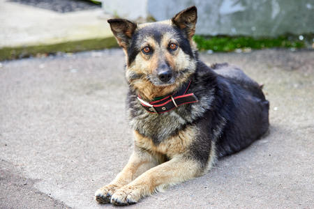 Portrait of a cute shepherd dog with a collar is lying on an asphalt road on a city street.