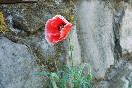 Red poppy flower near the gray stone wall, narcotic plant.
