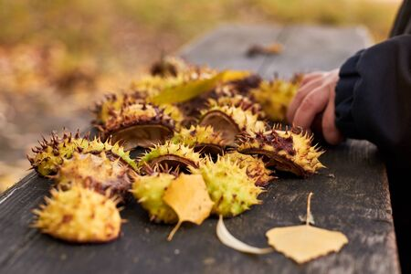 The peel from chestnuts and yellowed leaves lies on the old wooden bench on an autumn day, childs hand in the background is out of focus, autumn background.
