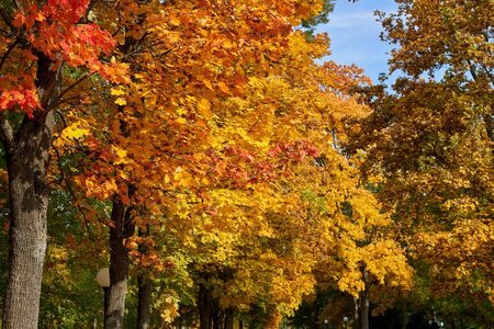 Maple trees with yellow and red leaves in the fall in the park, autumn theme Stock Photo