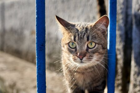 Portrait of a homeless cat peeps through the bars of a blue old fence.
