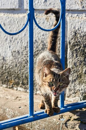 A stray stripy cat hisses through the grate of the fence, the animal protects its territory 版權商用圖片