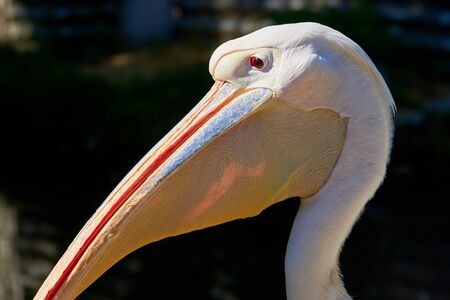 The head of an adult white pelican close-up on a dark background.