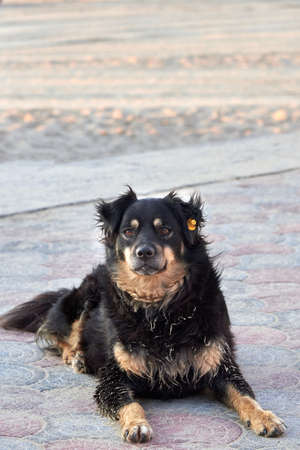 A dog with a tag in his ear lies on the sea beach on a summer day, the problem of homeless animals.