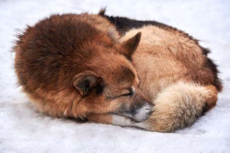 A stray dog lies in the snow curled up in a ring in winter. The problem of homeless animals.