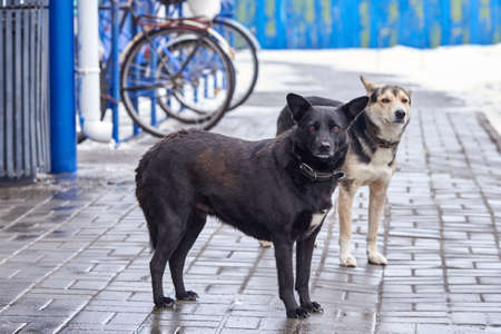 Two sad lost dogs stand on the sidewalk in winter. The problem of homeless animals.