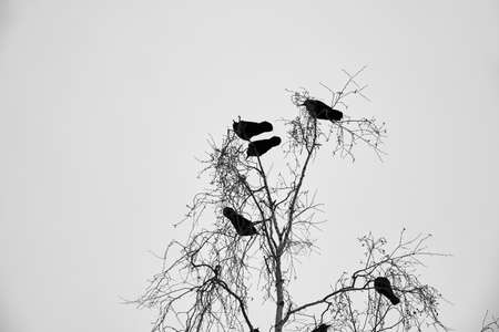 Family group of jackdaws sitting on top of a tree against the gray winter sky. Banco de Imagens