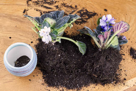 Transplanting a blooming violet into a new pot, home plants.