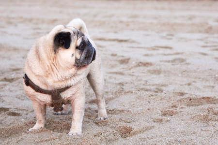 Cute pug walks on a sandy beach by the sea at sunrise near water.