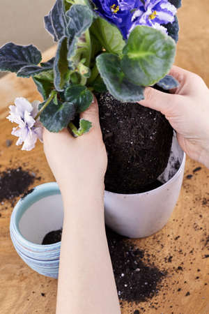 A woman transplants a blooming violet into a new pot, home plants.