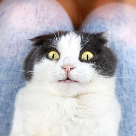Portrait of a funny cute fold cat with eyes wide open. Banco de Imagens