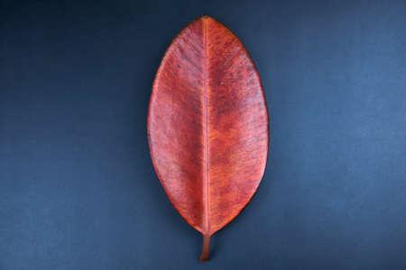 Red leaf of ficus robusta on blue background, minimalism concept. Banco de Imagens