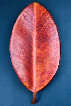 Red leaf of ficus robusta on blue background, close-up, minimalism concept.