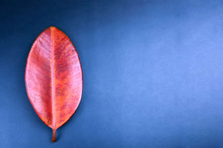 Red leaf of ficus robusta on blue background, minimalism concept, copy space.