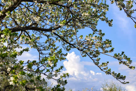 Blooming apple trees in the garden against the blue sky in the middle of spring.