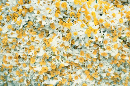 yellow flowers with white leaves. background image with yellow and white colored flowers Stock Photo
