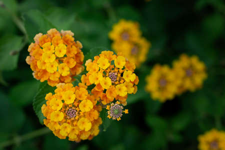 green background and yellow garden flowers