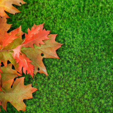 Autumn oak leaves on moss  photo