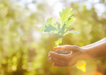 small tree: Oak sapling in hands  The leaves of rays of sunlight  Stock Photo