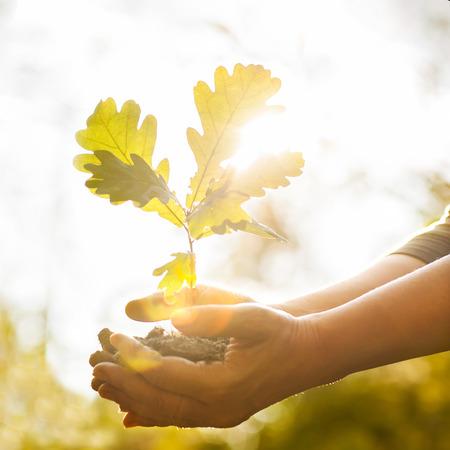 Eiken jong boompje in handen De bladeren van stralen van het zonlicht