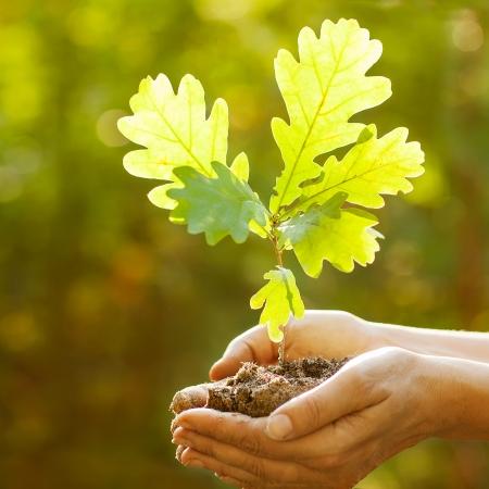 日光の光線の葉の手でオークの苗木