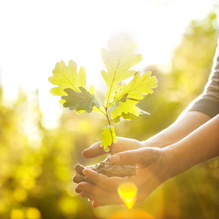 hand tree: Oak sapling in hands. The leaves of rays of sunlight.