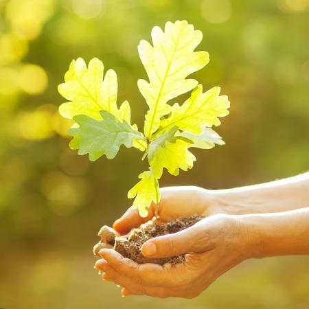 봄 녹색 배경에 대해 손에 젊은 오크 트리를 들고. 환경 보호 개념 스톡 콘텐츠