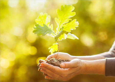 Oak sapling in hands  The leaves of rays of sunlight  Stock Photo