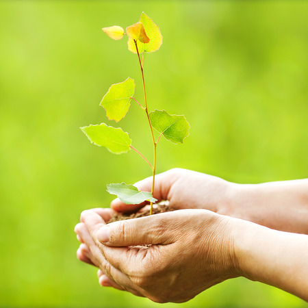 Aspen sapling in hands. The leaves of rays of sunlight. photo