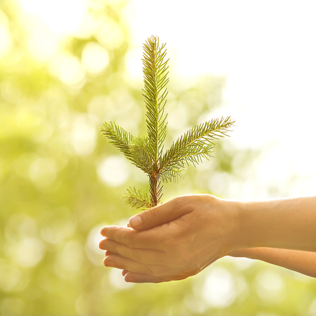 Spruce sapling in hands. The leaves of rays of sunlight. photo