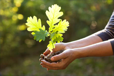 Environment Earth Day In the hands of trees growing seedlings oak. Bokeh green Background Female hand holding tree on nature field grass Forest conservation concept