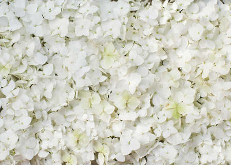 white hydrangea flowers in a round top view 免版税图像