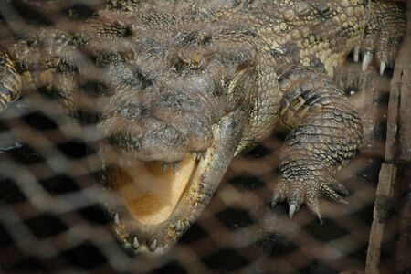 Crocodile caged Stock Photo - 17450818