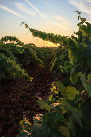 Vineyard landscape with rows of vines with sunset in the background photo