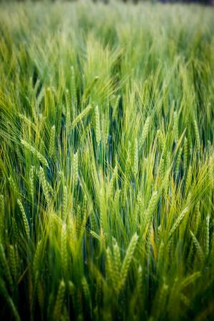 cosecha de trigo: Campo de trigo verde Foto de archivo
