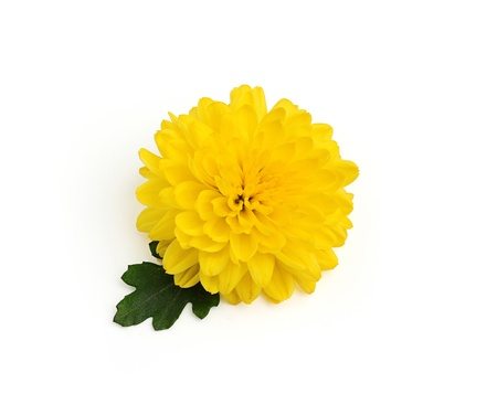 Yellow chrysanthemum flower with leaf