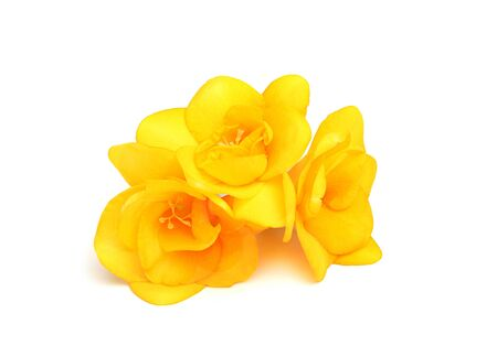 Three flowers of yellow freesia.isolated on a white background Stock Photo - 18197989