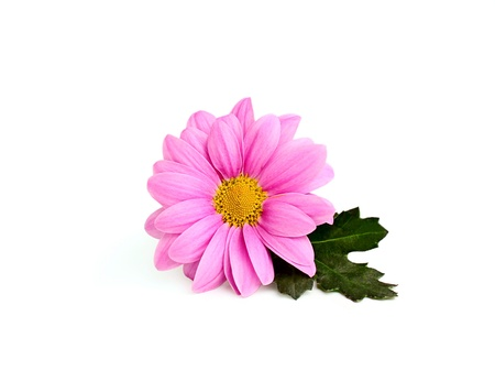Pink chrysanthemum. isolated on white background Stock Photo - 18490407