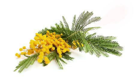Branch of mimosa.isolated on white background Stock Photo - 18490435