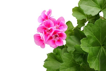 Pink geranium - pelargonium with leaves.isoleted on a white background.