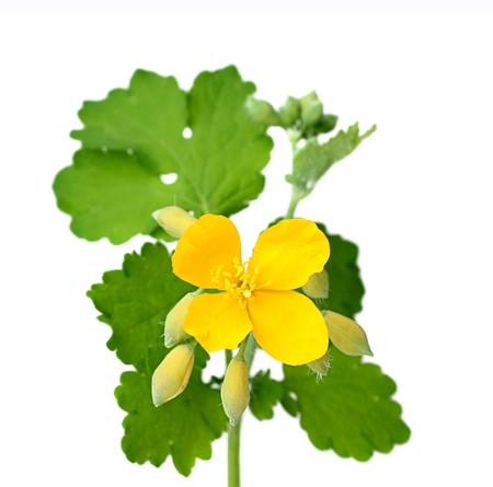 Celandine flowers with leaves isolated on white background.