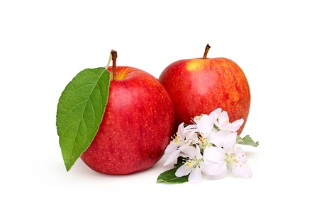 Two ripe apples with a blossoming branch,isoleted on a white background. photo